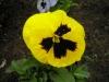 Violetta gialla
