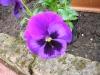 Violetta lilla