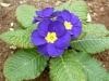 primula blu