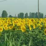 Campo di girasoli delle nostre campagne